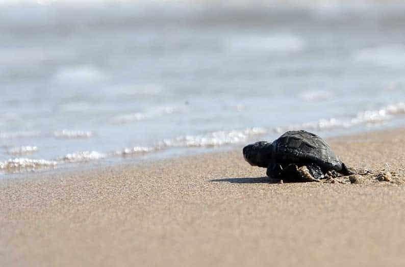 На кипрском пляже Лара Бэй вылупились сотни черепашек
